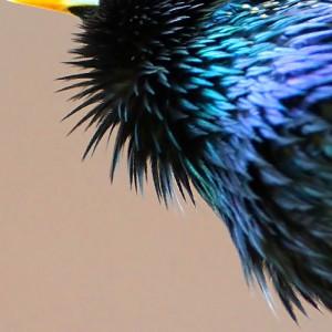 Tijdens het zingen beweegt de kleurige keel enthousiast op en neer.  - Fotograaf: Arno ten Hoeve