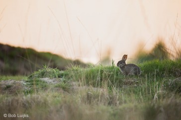 Bob_Luijks-konijn