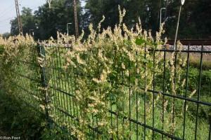 Zo groeit heggenduizendknoop op een hek langs het spoor.