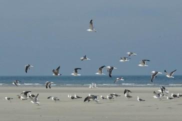 Meeuwen op het Groene Strand van Ameland