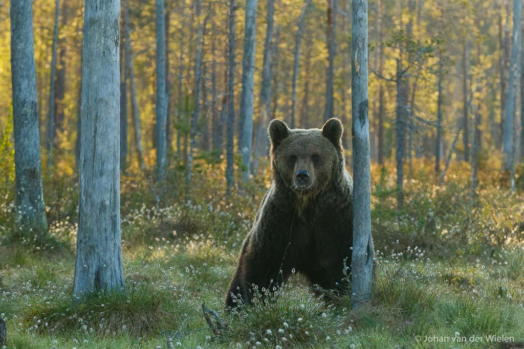 De beer kan weer los