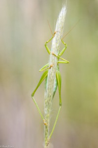 grote groene sabelsprinkhaan, verstoppertje spelen. - Fotograaf: Ron Poot