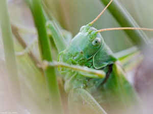 Kopportret grote groene sabelsprinkhaan - Fotograaf: Mark van Veen