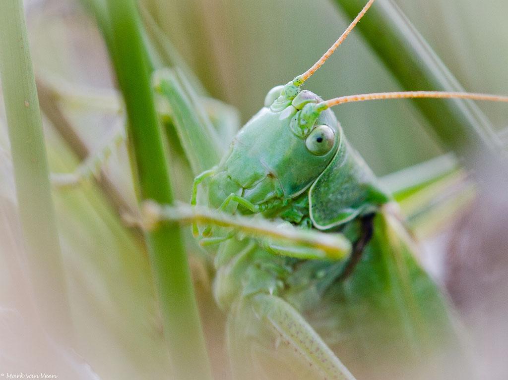 Grote groene sabelsprinkhaan natuurfotografie kopportret grote groene sabelsprinkhaan fotograaf mark van veen altavistaventures Image collections