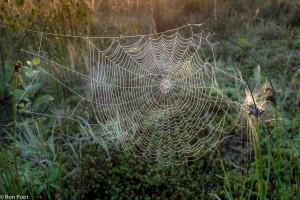 Een wielweb bij het eerste licht, zichtbaar door dauwdruppels.  - Fotograaf: Ron Poot