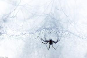 Een hangmatweb. Deze spin hangt onder aan zijn web en wacht rustig tot zijn prooi op het matje valt.  - Fotograaf: Ron Poot