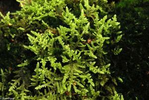 Diverse mossen bij elkaar geven een contrastrijk miniatuur landschap. - Fotograaf: Ron Poot