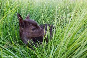 Jong damhert kalf, verborgen in het gras