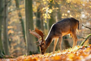 Hertenbok (schoffelaar) in herfstbos