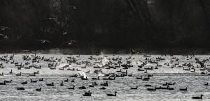 Kol- en grauwe ganzen nemen gezamenlijk een bad.    - Fotograaf: Arno ten Hoeve