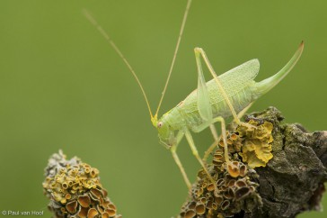 Boomsprinkhaan; Oak bush-cricket; Meconema thalassinum