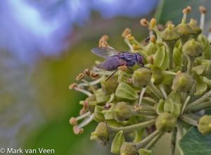 Een gewone vlieg, waarvan ik de naam ook niet weet, doet zich ook aan de nectar tegoed. - Fotograaf: Mark van Veen