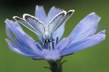 Niet-zonder-elkaar-bloemen-en-insecten-omslagfoto-Bernard-Fransen-heideblauwtje-op-cichorei