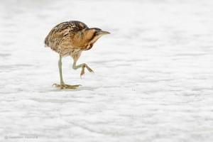 Een roerdomp steekt het ijs over. Doordat de wateren waaruit hij normaal gesproken vist zijn dichtgevroren, wordt hij gedwongen zijn dekking te verlaten.