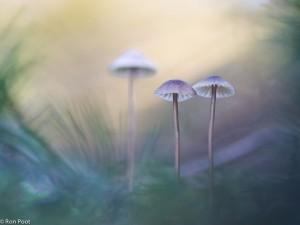 Mycena's tussen het mos. - Fotograaf: Ron Poot