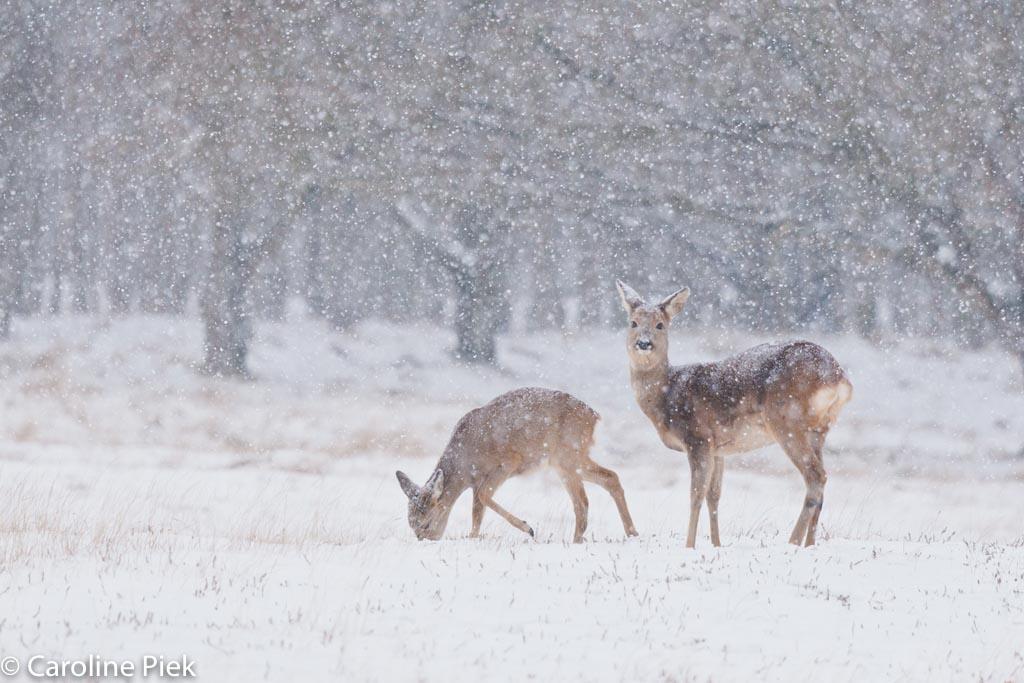 Reeen in de sneeuw