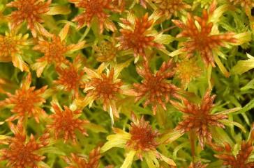 Sphagnum fallax