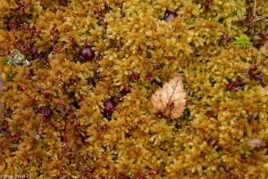Een berkenblaadje op een bed van veenmos.  - Fotograaf: Ron Poot