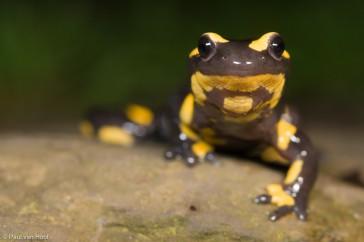 Fire Salamander (Salamandra salamandra) frontal view