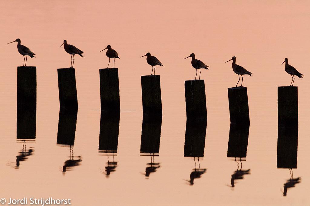 16 keer onze Nationale Vogel, de grutto