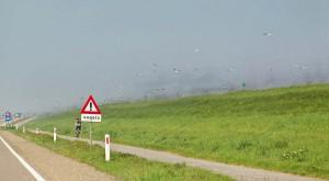 Muggen zo veel dat de dijk lijkt te roken. Kokmeeuwen en hun vliegend buffet.     - Fotograaf: Arno ten Hoeve