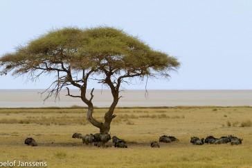 Acacia met gestreepte gnoes. Op de achtergrond is de Pan te zien.