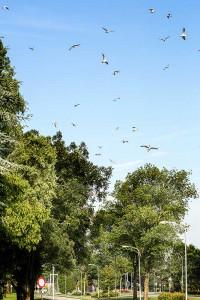 Vliegende mieren en vliegende mieren vangende vliegende kokmeeuwen.  - Fotograaf: Arno ten Hoeve