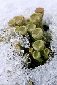 In zomer en winter kun je bekermossen vinden.  - Fotograaf: Ron Poot