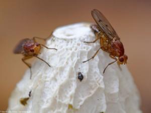 Boomvliegen op een stinkzwam, in de late herfst. - Fotograaf: Mark van Veen