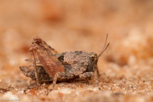 Kalkdoorntje; Long-horned groundhopper; Tetrix tenuicornis - Fotograaf: Paul van Hoof