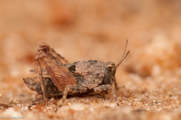 Kalkdoorntje; Long-horned groundhopper; Tetrix tenuicornis