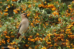 De pestvogel is een invasievogel die hier op zoek is naar voedsel. - Fotograaf: Chris van Rijswijk