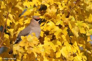 Vanaf de herfst kun je in ons land pestvogels verwachten.