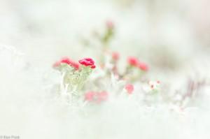 Door rendiermos heen gefotografeerd, diafragma open. Het rendiermos geeft het rood bekermos een mooie wazige kadering.  - Fotograaf: Ron Poot