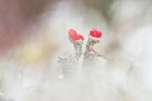 Rood bekermos, de bekertjes zijn goed te onderscheiden. - Fotograaf: Ron Poot