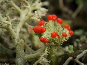 Een kroonjuweel, rood bekermos als een koninklijke beker ingelegd met robijnen.  - Fotograaf: Ron Poot