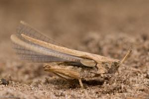 Enkele soorten, zoals dit zeggedoorntje hebben lange vleugels en kunnen uitstekend vliegen.  - Fotograaf: Paul van Hoof