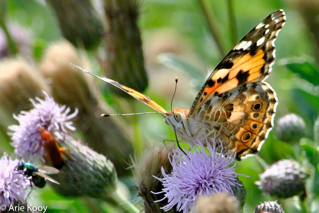 Vooral in 2015 kwam deze vlinder veel voor