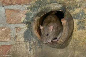 Rioolrat, gefotografeerd in het rattenriool van Dierenpark Emmen.  - Fotograaf: Paul van Hoof