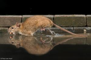 Bruine rat rent vanaf een voederplek met pinda's door een zelf gemaakt setting.  - Fotograaf: Paul van Hoof
