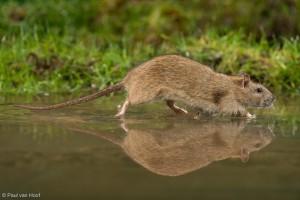 Bruine rat loopt door ondiep water. - Fotograaf: Paul van Hoof