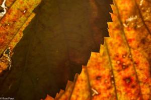 Spelen met de schaduw van een gezaagde bladrand.  - Fotograaf: Ron Poot