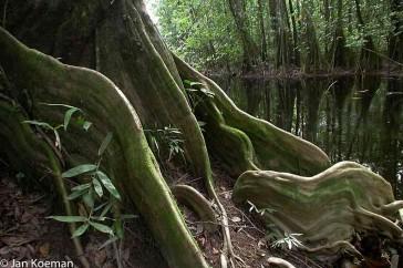 Prachtige vormen in de boomwortels langs een Surinaamse boskreek.