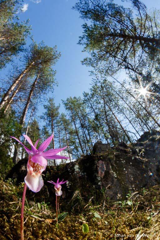 Macrolandschap van kleine bosnimf orchidee, 10mm fisheye lens, Oulanka Finland.