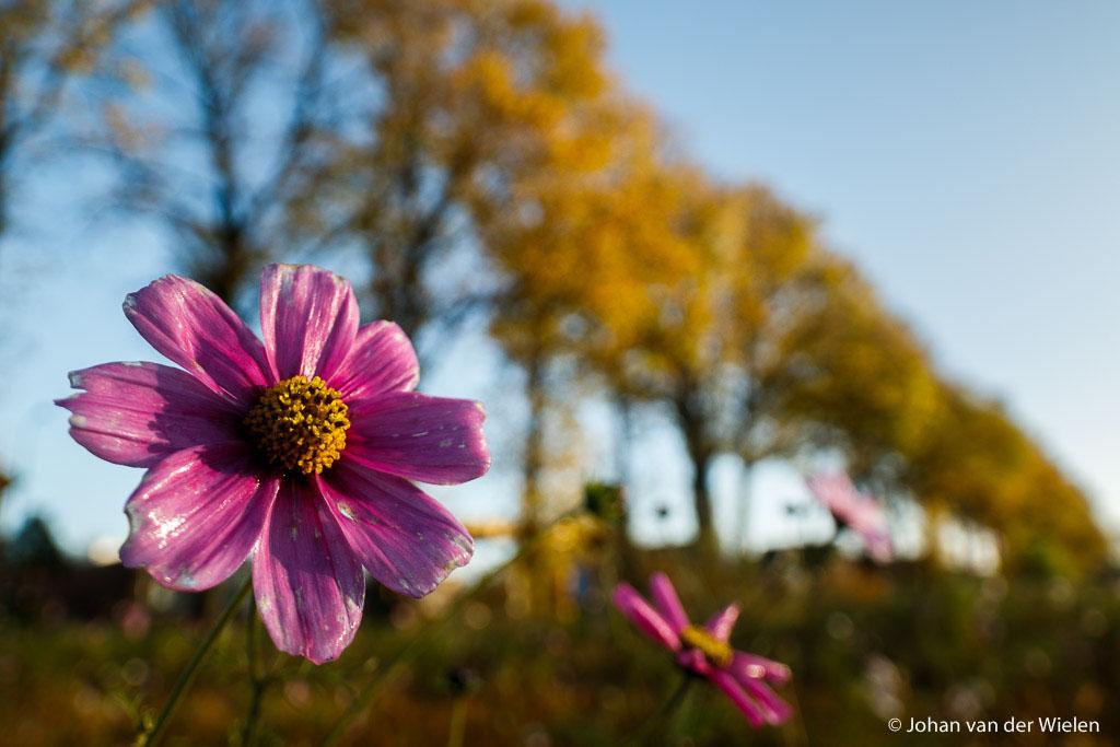 Laatste bloeiende bloemen van de herfst, vervreemde verhouding tussen de grote bloem en de bomenlaan in herfstkleuren.