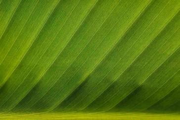 bananenboomblad