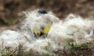 Als je het een romantisch idee vindt dat 'jouw' mezenpaar een warm nestje maakt met het haar van jouw hondje, leg dan wat plukken haar in de buurt van de broedplaats. - Fotograaf: Arno ten Hoeve