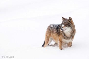 Bob_Luijks-wolf