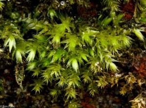 Jonge plantjes van Gewoon dikkopmos met de kenmerkende oplichtende kopjes.  - Fotograaf: Ron Poot