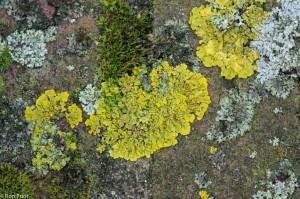 Groot dooiermos is een opvallend gele soort die op steen en bomen algemeen voorkomt. - Fotograaf: Ron Poot